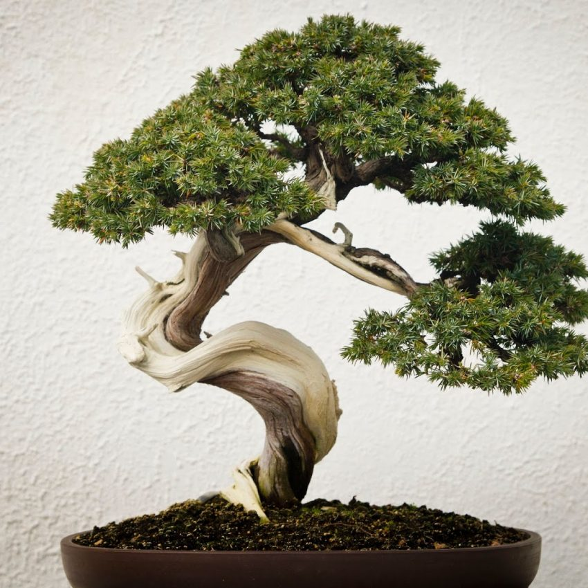 Bonsai_Tree_uhd